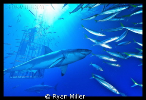 White Shark Isle De Guadalupe Sept 2011 by Ryan Miller 